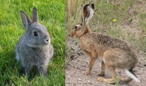 Conejo (izquierda) y Liebre (derecha).