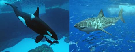 Orca (orcinus orca) y Tiburón (Carcharodon carcharias)