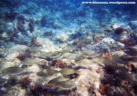 Más salpas (<i>Sarpa salpa</i>), són muy comunes en las costas mediterráneas.